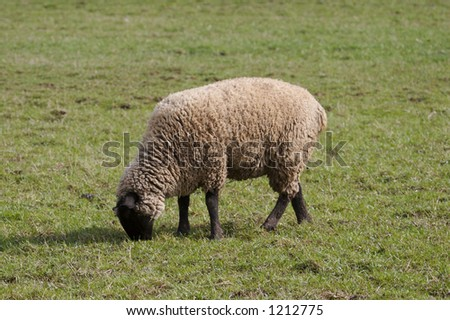 Sheep or Lamb Grazing in a Field