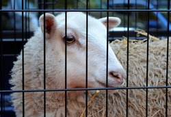 Sheep (Ovis aries) are quadrupedal, ruminant mammals typically kept as livestock. Like most ruminants, sheep are members of the order Artiodactyla, the even-toed ungulates.