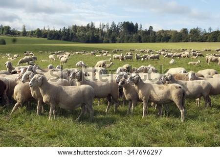 Sheep; Pets; Livestock;