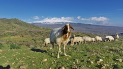 sheep portrait in a rural scene of the Sicily with Etna Mount snow covered