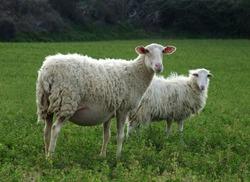 Sheep - Pregnant or Nursing Ewe in front.