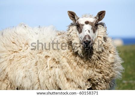 Sheep Red Wharf Bay Anglesey North Wales #60158371