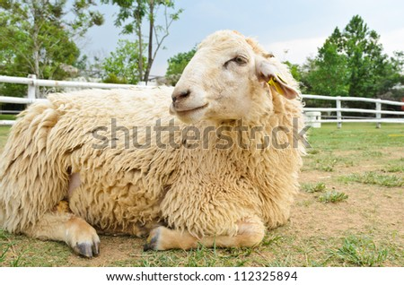 Sheep resting Inside a white wooden fence, Thailand - stock photo