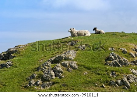 Sheep resting on the hill