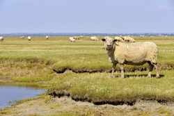 sheep salt meadows at Mont-Saint-Michel in Lower Normandy in France