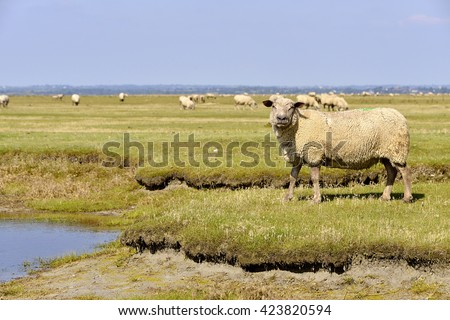 sheep salt meadows at Mont-Saint-Michel in Lower Normandy in France #423820594