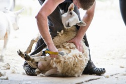 Sheep shearer shearing sheep wool with traditional hand clippers