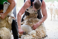 Sheep shearers shearing sheep wool with electric clippers
