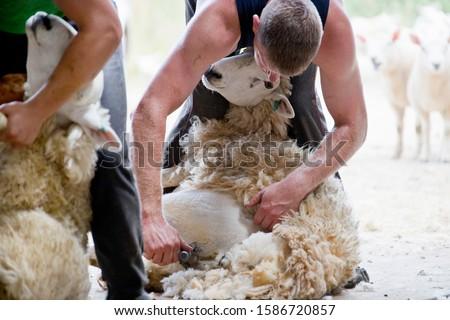 Sheep shearers shearing sheep wool with electric clippers Foto d'archivio ©