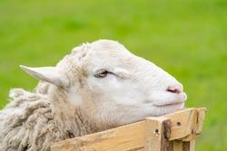 Sheep shearing head close up. White shearing sheep wool. Close up of shared sheep. Spring shearing animal
