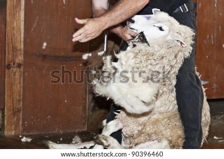 Sheep shearing in New Zealand.