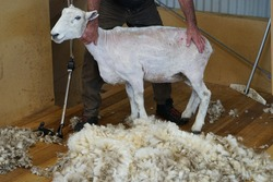 Sheep shearing is the process by which the woollen fleece of a sheep is cut off. In New Zealand this is typically done twice a year.