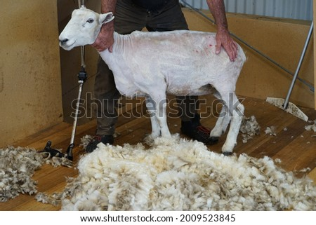 Sheep shearing is the process by which the woollen fleece of a sheep is cut off. In New Zealand this is typically done twice a year. Foto d'archivio ©