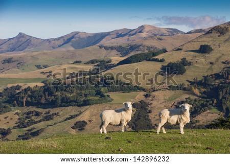 Sheep Sheep #142896232