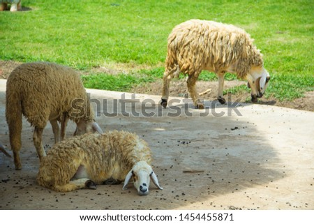 Sheep,Sheep in the garden.Sheep eating grass in the field #1454455871