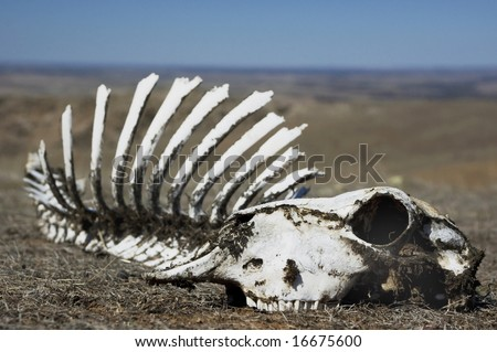 Sheep skull sitting in scrub with blue sky and horizon in background