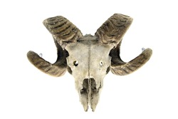 sheep skull with horns on white isolated background. bone