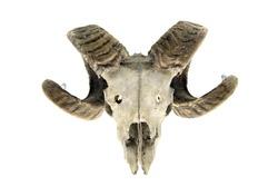sheep skull with horns on white isolated background. bone
