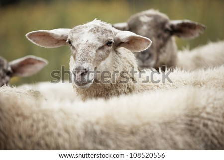 Sheep standing in long green grass on farm - selective focus