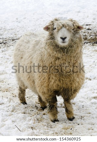 Sheep standing in snow on farm in winter.