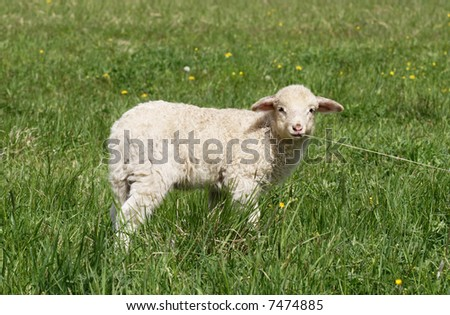 Sheep standing in the fields - God's lamb