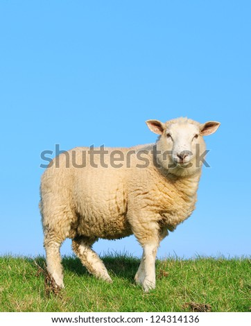 Sheep standing on seawall - in this version you can write a text on it.