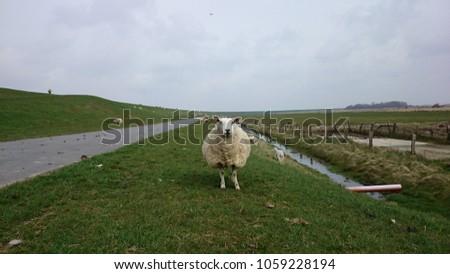 Sheep standing still #1059228194