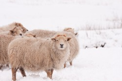 Sheep standing together in snow