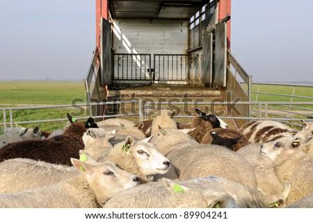sheep transport