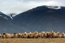 Sheep under the mountains before winter