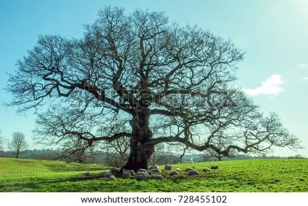 Sheep under the old Oak tree in an English meadow. - Shutterstock ID 728455102