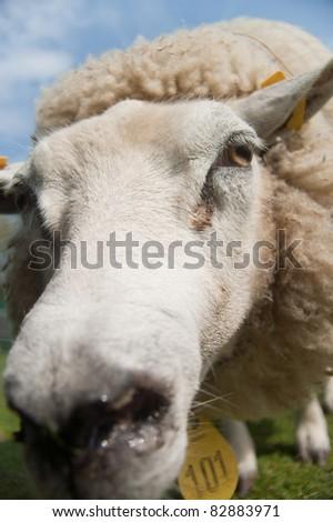 Sheep up close and personal