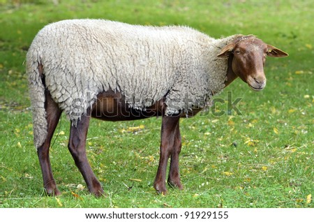 Sheep Variety Of Solognot, Or Of The Sologne, French Race ...