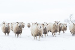 sheep walking together in the snow