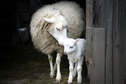 Sheep with a lamb standing in the doorway of the barn. Maternal instinct