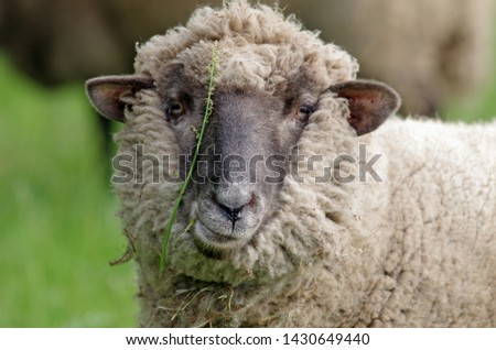 Sheep with flower looks into the camera #1430649440