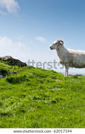 Sheep with horns in rural scene