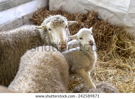 Sheep with lamb in a pen for domestic farm animals