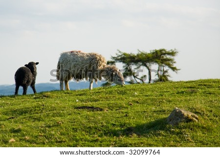 Sheep with lamb in Lake District