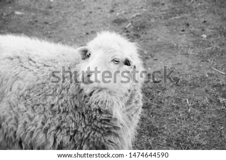 Sheep with lots of wool in black and white #1474644590