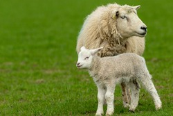 Sheep with newborn lamb.  Close up of a Ewe or female sheep with her young lamb, in green pastureland.  The little lamb is staying close to her mother.  Concept: a mother's love.   Horizontal.