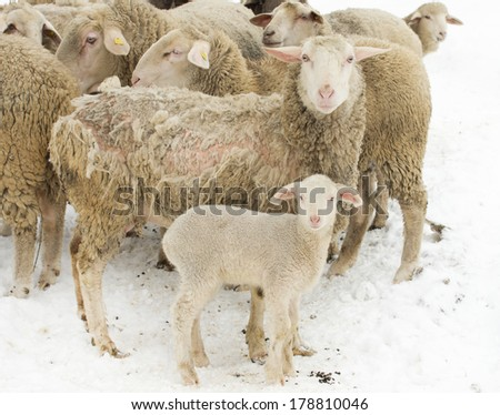 Sheep with skin illness standing with herd and lamb on snow