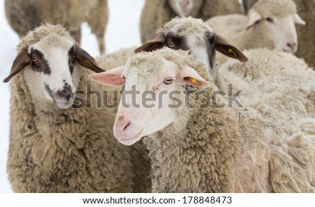 Sheep with skin problem isolated on white