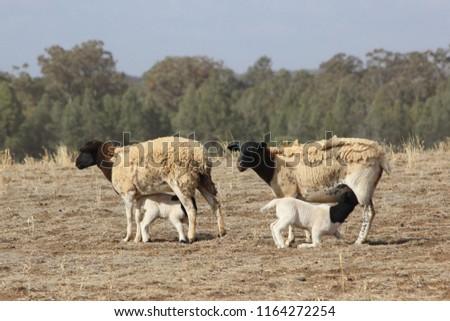 sheep with suckling lambs #1164272254