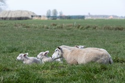 Sheep with three lambs (triplets) are enjoying themselves in a green meadow with a hazy farm on the horizon. The ewe looks after them well