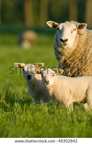 Sheep with two newborn