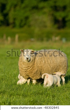 Sheep with two newborn drinking milk
