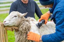 Sheep wool shearing by farmer. Scissor shearing the wool from sheep.