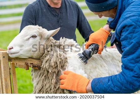 Sheep wool shearing by farmer. Scissor shearing the wool from sheep. Foto d'archivio ©