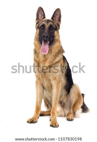sheepdog breed sitting isolated #1107830198